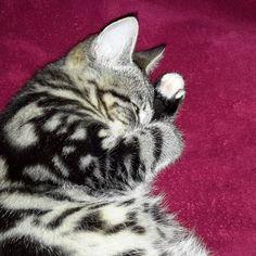 Let me sleep a bit more, please!   #kitten #cute #lovelycat #adorablecats #sleepingcat #catsdream #prettycat #cats #catstagram #catsagram #catsinstagram #catslovers #tabbycats #whenyouhaveacat #tabbycat #cat #catathome #allaboutcats #catonred