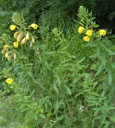 Evening Primrose plant - The roots of the first year are fleshy, sweet and somewhat succulent. The roots can grow quite thick and long and resemble parsnips. Young shoots can be eaten raw or cooked (but do not eat a lot of these – sparingly!) The flowers taste great, a little sweet and can be used in salads. Young seedpods can be harvested and steamed or sautéed. It is a very good source of gamma-linolenic acid, an essential fatty acid that is not found in many plant sources.