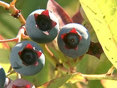 Tips for growing blueberries- fertilize (camelia or azalea acid loving type) in spring and plant clover to add nitrogen to soil naturally