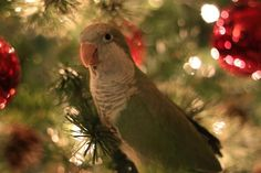 Baby Monk Parakeet (Myiopsitta monachus) Perched in a Christmas Tree.