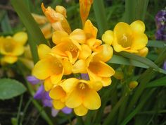 Freesia flower is grown from a solid bulb like the Gladiolus and is ...