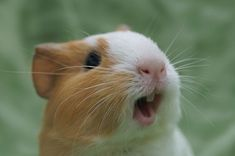 Cool Guinea pigs will learn to whistle in response to the opening of refrigerator doors or rustling of plastic bags, where their food is most usually stored. Check more at http://oddstuffmagazine.com/amazing-animal-facts-of-the-week-december-20-2014.html