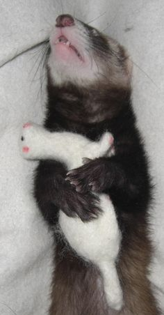 Ferret with Fiber Ferret, how cute! i need to get my ferret ( Agnes) one! McKenzie McKenzie Vaughan When I had a ferret it had a huge collection of those mini beanie babies that he loved to hide under furniture. Was so cute! Baby Ferrets, Funny Ferrets, Pet Ferret, Ferret Toys, Cute Creatures, Beautiful Creatures, Animals Beautiful, Animals And Pets, Baby Animals