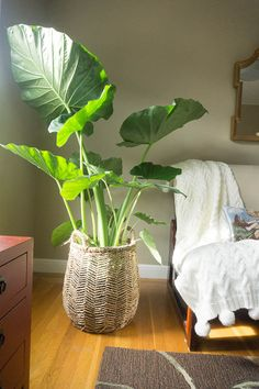 Elephant ears in your bedroom? Why not! Just put in a basket! #greengirldaily_blog