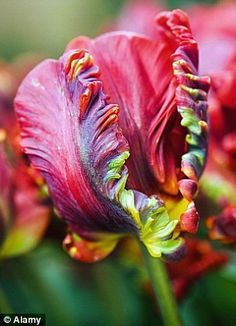ROCOCO: A carmine-red parrot tulip with swirly, winding petals that are lightly touched with green.