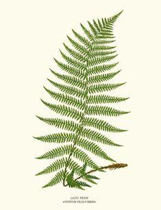 Antique Fern Print Ilustration (Lady Fern - Athyrium felix foemina) #ferns #botanicals #prints
