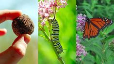 Munitions to love! It's time to carpet the country with milkweed to give struggling monarchs a chance. Cinnamon Garden, Monarch Caterpillar, Seed Bombs, Seed Paper, Herbaceous Perennials, Plant Species, Seed Starting, Monarch Butterfly, Native Plants