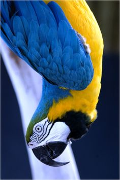 Blue-and-gold Macaw just hanging around watching you look at Pinterest.....