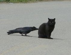 Sneaky crows like to pull the tails of other animals.  More photos at the link.