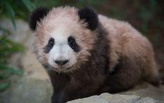 Download wallpapers small panda, 4k, cub, pink panda, cute animals, zoo, pandas, Ailuropoda