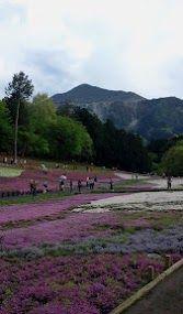 GWの羊山公園。武甲山と芝桜