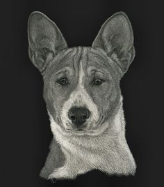 """Basenji - This is the actual size of the piece.  7X5"""". A new website of memorial scratchboard will be unveiled soon.  In the mean time please email me at sue@suewalters.com if you are interested in an small portrait being done. #basenji"""