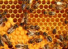 Etwa 30 Prozent der Bienenvölker sind tot, vermuten die deutschen Imker. Ein wechselhafter Winter machte wohl vielen Völkern den Garaus
