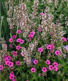 Großblütigen Katzenminze 'Dawn to Dusk' (Nepeta grandiflora) und Armenische Storchschnabel (Geranium psilostemon)
