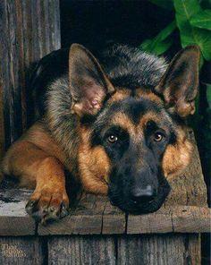 Pretty German Shepherd #germanshepherd