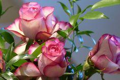 Ont Augmenté De, Equateur A Augmenté, Rose, Décoratifs