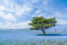 """io9: Luminous Nature Photographs Will Restore Your Sense of Wonder -- """"I took this picture at Hitachi Seaside Park in Ibaraki Prefecture, Japan. The flowers are nemophila and the number of them in the park is 4.5 million. I wish to go into the blue universe again next year to photograph."""" Photo & Caption Credit: Hiroki Kondo/National Geographic Photo Contest"""