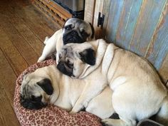 I love pug piles. They stack up for sleep time in groups.