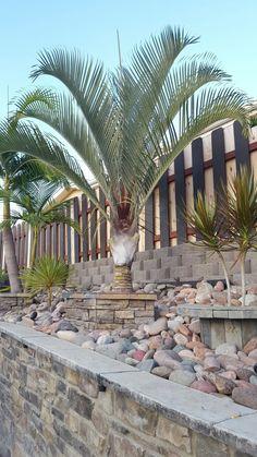 Triangle palm san diego Palm Garden, Backyards, Palms, Southern California, San Diego, Brick, Landscaping, Triangle, Gardening