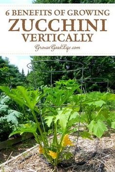 6 Benefits of Growing Zucchini Upright: Growing summer squash vertically by trellising or in tomato cages helps to save space, encourages air circulation, and allows the squash to be more visible reducing the chance of overgrowth. Growing Zucchini, Zucchini Plants, Growing Squash, Growing Courgettes, Veg Garden, Edible Garden, Garden Soil, Vegetable Gardening, Garden Beds