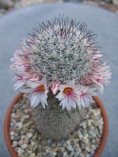 Mammillaria albicans (syn. M. slevinii) - Photo: Keith