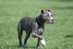 10 Friendly Facts About American Pit Bull Terriers | Mental Floss