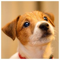 What a cute Jack Russell Terrier!
