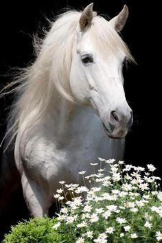 White stallion, White, horse, beauty, beautiful, gorgeous, hest, awesome, stunning, animal, flowers, photo.