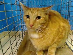 TO BE DESTROYED MONDAY 10/22/12 NY* This gorgeous boy is Oscar. He's 2 yrs old & was brought in as stray. But he's neutered, was free of external parasites, & a hearty 13 pounds. Clearly Oscar was someone's pet who may have gotten lost or wandered too far from home. Just look at him in his pic. How traumatizing to be trapped in a steel cage & transported to scary ACC. No wonder he's absolutely terrified. If you can foster or adopt him, please act fast & work w/ a rescue to save handsome…