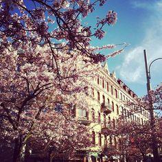 Cherry blossom at the square Järntorget, Gothenburg.