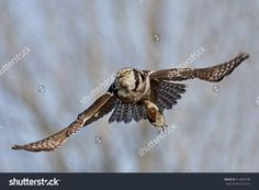 This image was sold today @shutterstock: Northern hawk-owl (Surnia ulula) in flight https://www.shutterstock.com/da/image-photo/northern-hawkowl-surnia-ulula-flight-mouse-514804798