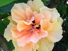 Fancy Hibiscus by AvenueJ