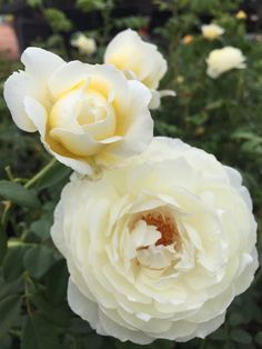 For you this morning, Claire Austin rose from David Austin. Outdoor Plants, Garden Plants, Outdoor Gardens, Claire Austin Rose, Rogers Gardens, Most Popular Flowers, Asian Garden, One Rose, Growing Roses
