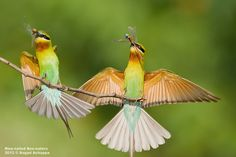Blue-tailed Bee-eaters in action!!