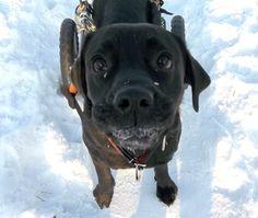 ... labradorka Vivienn - szuka domu...