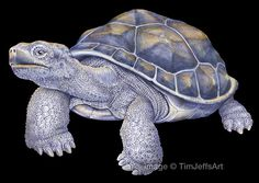 Tortoise Colored Pencil Drawing