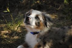 My puppy, a mini Australian Shepherd   ...if I'm not able to have a human room mate...