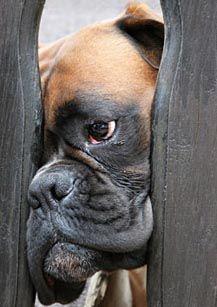 Peek-a-boo Boxer. #BoxerDog