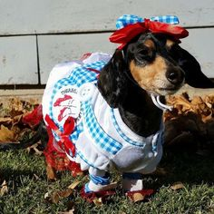 Remy the dachshund as Dorothy from The Wizard of Oz