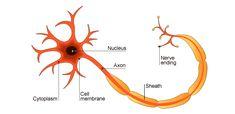 How information is passed through the nervous system -Neurons carry electrical signals, and are connected by synapses.Neurons. Neurons carry signals from one place to another, around the many parts of the nervous system. They connect sense receptors to the central nervous system and also connect one part of the nervous system to another, for example in the brain and spine. They also carry signals from the nervous system to effector organs, such as muscles and glands.