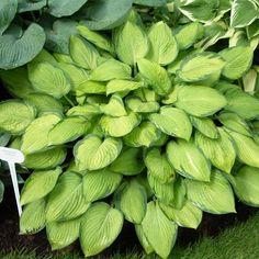 Hosta 'Gold Standard' Hosta Varieties, Shade Garden, Country Style, Planting, Perennials, Gardens, Backyard, Leaves, Patio