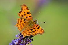 Gehakkelde aurelia Foto en tekst: Wim Tassignon Cute Butterfly, Moth, Butterflies, Insects, Animals, Animales, Animaux, Butterfly, Animal