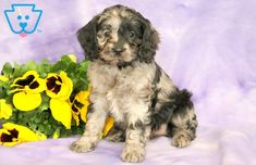This Cockapoo puppy will NOT disappoint. She is an adorable puppy with lots of personality. Cockapoo Puppies For Sale, Cute Puppies, Animals, Animales, Animaux, Cute Baby Dogs, Animal, Animais