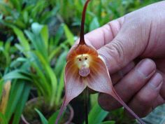 This monkey orchid is a rare flower found in the high elevations of Ecuador and Peru!