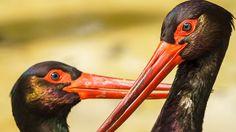 Black Storks Jerez De La Frontera Spain by Pablo Avanzini Sony A6000, Canon Ef, Stork, Spain, World, Animals, Image, Art, The World
