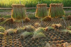 Clumps | Rice drying the traditional way. Chiba Japan 2012 | Damon Bay | Flickr