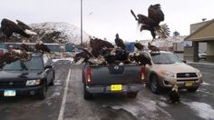Approximately 40 bald eagles swarmed a Nissan truck parked in Unalaska, Alaska. Coincidentally, there were bags of fish in the back of the truck. (Photo: KUCB)