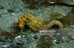 Image result for new zealand sea horse