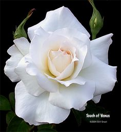 I love the way this rose looks  http://www.rosesunlimitedownroot.com/Touch-of-Venus-w-031204.jpg