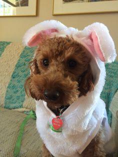 Romeo miniature poodle dressed as a rabbit